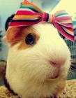 可爱豚鼠图片 豚鼠图片