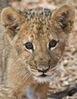可爱小狮子图片