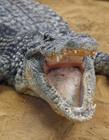 鳄鱼的图片 鳄鱼的图片大全