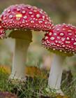 正红菇和毒红菇区别 毒红菇图片