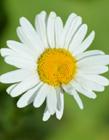 白菊花唯美图片 好看白菊花图片
