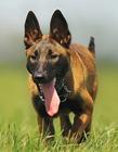 比利时玛利诺犬图片