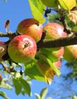 苹果树上的苹果照片