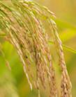 稻花香水稻图片