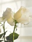 白色的玫瑰图片大全 白色玫瑰花图片