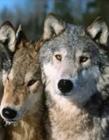 长得最像狼的狗 像狼的狗有哪些