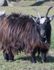 黑山羊图片 黑山羊图片大全