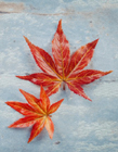 红色枫叶代表什么意思 红色枫叶的寓意是什么 红的枫叶什么意思