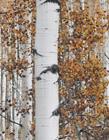 白桦树图片