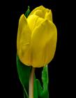郁金香象征着什么 郁金香象征着什么意思