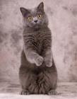 站起来的可爱猫咪图片