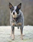 澳洲牧牛犬图片