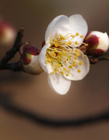 冬天腊梅花图片