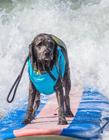 美国举办狗狗冲浪比赛