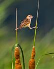 棕扇尾莺图片