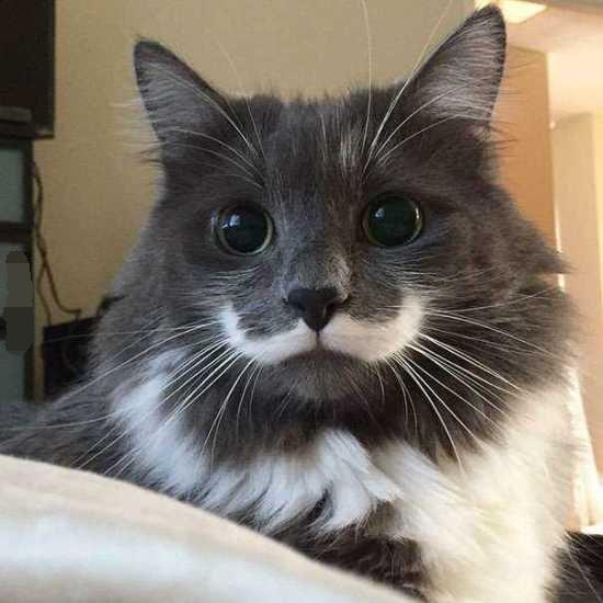 """""""八字胡""""猫咪"""