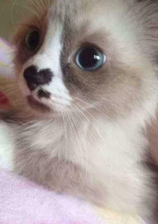 猫鼻子是爱心的形状