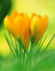 黄色番红花图片