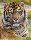 苏门答腊虎图片