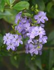 紫色金露花图片