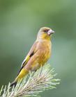 金翅雀图片
