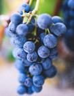 好吃的葡萄