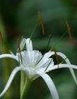 蜘蛛兰花图片