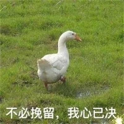 一只白色表情动漫肥鸭子表情可爱萝莉鸭子包表情图片