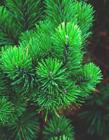 松树枝图片