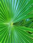 棕榈树图片 棕榈树图片大全