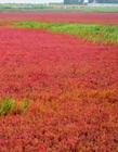 盘锦红海滩照片