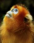 金丝猴图片 金丝猴图片大全