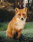 狐狸吃什么动物 狐狸喜欢吃什么