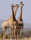 长颈鹿高清图片 长颈鹿高清图片大全大图