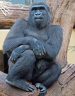 大猩猩照片