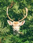 麋鹿照片 查找更多的麋鹿照片 四不像是什么动物
