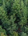 针叶树图片