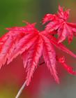 红色枫叶树图片大全