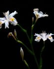 鸢尾花是哪国的国花