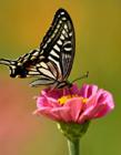 蝴蝶在花丛中图画 蝴蝶在花丛中飞舞图片