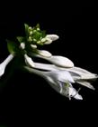 白玉簪花图片