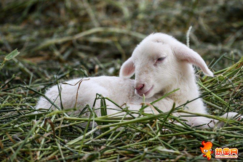 高清壁纸可爱绵羊
