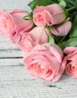 美丽的玫瑰花图片 美丽的玫瑰花图片大全