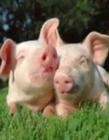 两只猪抱着一起睡觉套路图片 两只可爱猪睡觉的照片