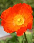 罂粟花是什么样子 鸦片罂粟花图片大全