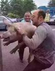 聊天套路别人的猪的图 猪系列套路表情包图片