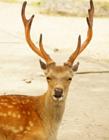 奈良的鹿图片