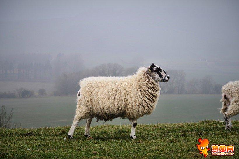 绵羊剪毛痛吗