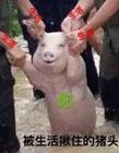 微笑猪洪水表情包 洪水救猪表情包 洪灾猪表情包原图