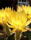 仙人掌开花代表什么意思 仙人掌什么季节开花